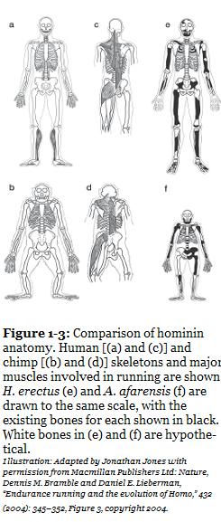 Kuva ihmisen, H. erectuksen, apinan ja A afaransiksen anatomiasta.